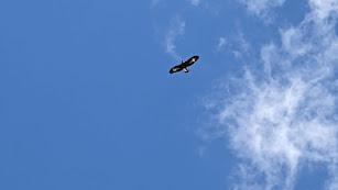 El joven águila mientras sobrevuela el municipio de Albox.