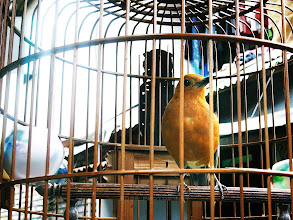 Photo: caged bird in Indonesia  ~ カ ゴ ノ  ト リ ~