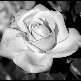 Rose by Dave Lipchen - Black & White Flowers & Plants ( rose )