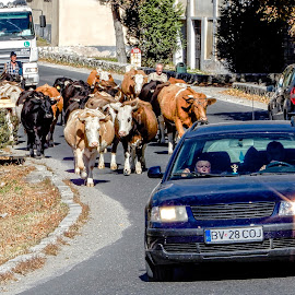 Cows in the Road by Richard Michael Lingo - City,  Street & Park  Street Scenes ( cars, city, street scene, street, cows )