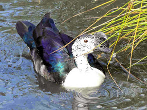Photo: Muscovy duck