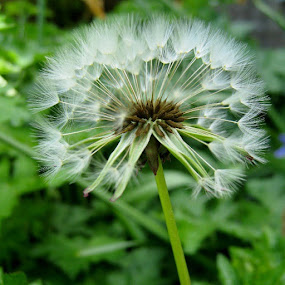by Carly Louise - Novices Only Flowers & Plants ( dandelion, flower, weed, seeds, spring, garden, springtime, nofilter, Lincolnshire, UK, sunnydays, readyforsummer )