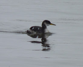 Photo: Red-necked Grebe