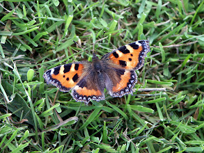 Photo: Small Tortoiseshell