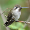 Plain capped starthroat
