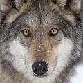 Angry Killer Wolf 3d Simulator APK