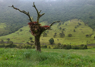 Photo: Dead tree colonized by bromeliads along the trail