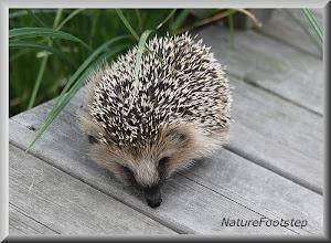 Photo: igelkott - hedge hog