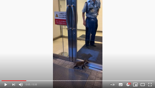 Baby tanuki prompts adorable standoff as it tries to get into Tokyo art museum【Videos】
