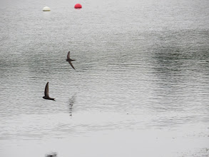 Photo: 2 Jul 13 Priorslee Lake: The best of this morning's attempt at photographing flying Swifts. (Ed Wilson)