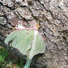 Luna Moth(s)