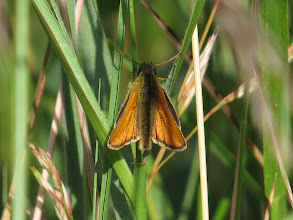 Photo: 15 Jul 13 Priorslee Lake: A Small Skipper: my first of the year. Separated only with difficulty from Essex Skipper: on that species the tips of the antenna are jet black. Easy to see on a photo – hard when its flying. (Ed Wilson)