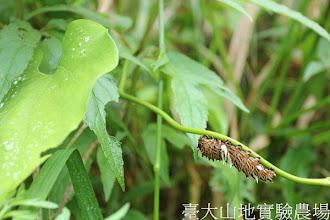 Photo: 拍攝地點: 翠峰-三角楓步道 拍攝植物: 大葉馬兜鈴及曙鳳蝶幼蟲 拍攝日期:2012_05_19_FY