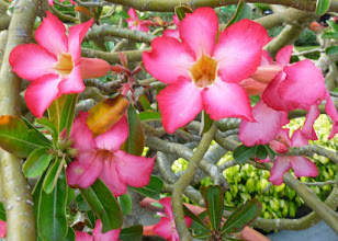 Photo: There were quite a few gardens and flowers in the city.  This is a form of desert rose.