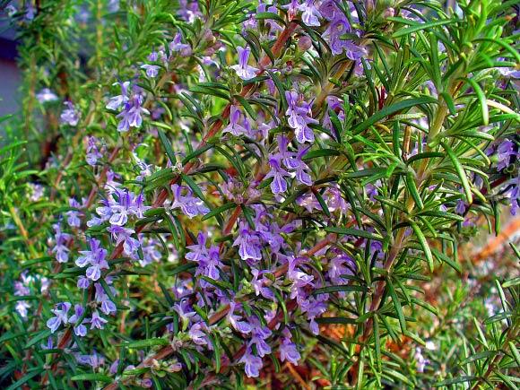 Ramuan Tanaman Herbal Untuk Radang Usus Dan Lambung