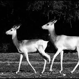 Addra Gazelle by Dave Lipchen - Black & White Animals ( addra gazelle )