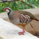 Red-legged partridge. Perdiz roja