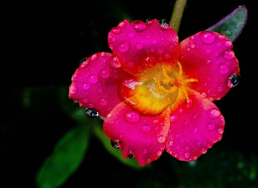 by Rayyan Luttah Basindol - Nature Up Close Flowers - 2011-2013