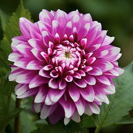 Dahlia 9900~ 1 by Raphael RaCcoon - Flowers Single Flower