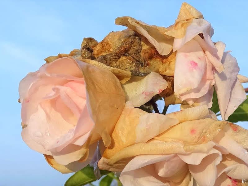2018-12-18 LüchowSss Garten (6) Rose Aspirin