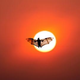 Batman Rises by Ajay Nath - Animals Birds ( bat, kerala, nature, sunset, silhouette )
