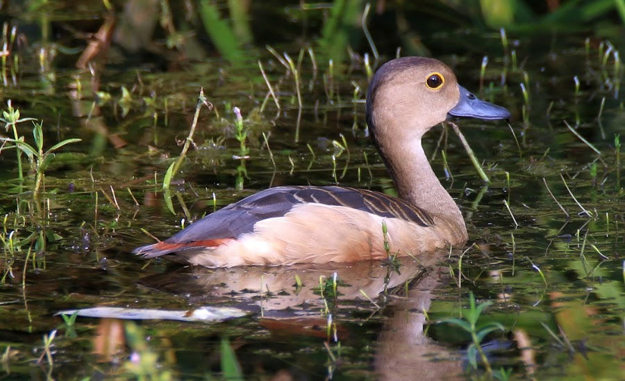 whistling duck Bird by Vivek Naik - Animals Birds ( indian whistling duck, duck, whistling duck bird, lesser whistling duck )