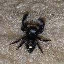 Maryland Jumping Spider