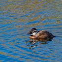 Malvasía común (White-headed duck)