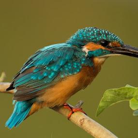 Kingfisher by Saumitra Shukla - Animals Birds ( amazing, bird, common, blue, colorful, beautifull, vivid, kingfisher, eating, morning, close up )