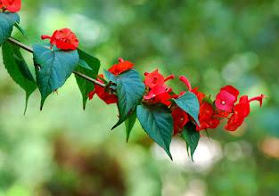 Photo: Chapeuzinho Chinês Vermelho ou Para-Sol ( Holmskioldia sanguinea )