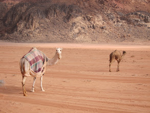 Photo: Camels left to forage