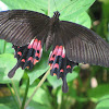 Female Common Mormon