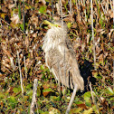 Black-crowned night heron (immature)