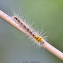 Common Duffer Caterpillar