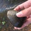 Asiatic clam