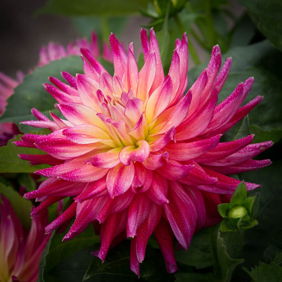 Kissed By Dew by Janet Marsh - Flowers Single Flower ( pink, dahlia, dew )