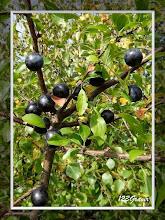 Photo: Épine noire, Prunus spinosa