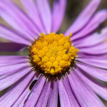 "Photo: Macro shot of a tiny aster only 2"" tall"