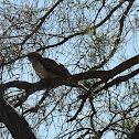 Pallid Cuckoo ( sub adult)