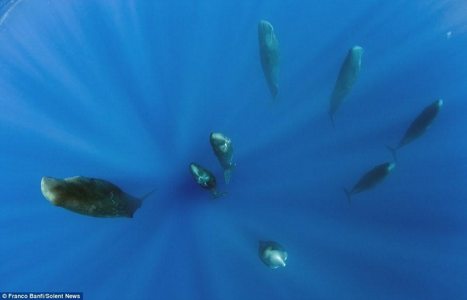 O sono da baleia cachalote