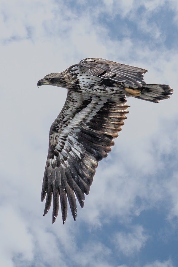 Flight by Ron Meyers - Animals Birds