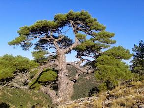 Photo: Impresionate Pino (unos metros antes de la cima)