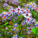 Common Blue Wood Aster