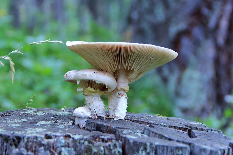Funghi lignicoli di ScrofaniRosaria