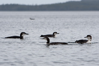 Photo: We were able to get really close to these juvenile loons... quite a treat because they are normally very skittish.