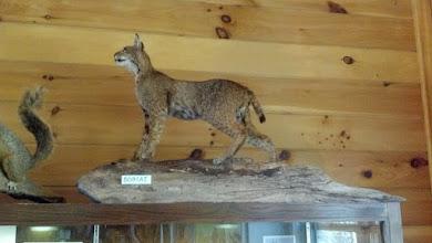 Photo: Stuffed Bobcat at the Nature Center