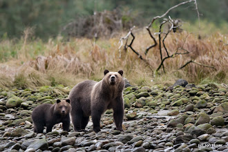 Photo: A mom and cub venture along the shoreline at dusk, giving us a great view.