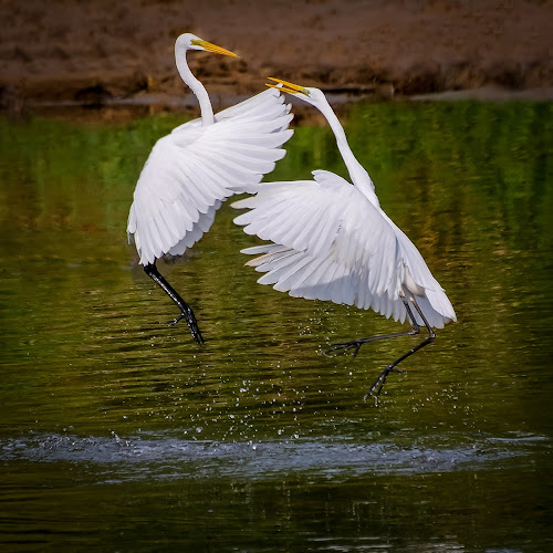 The Challenger by Mahdi Hussainmiya - Animals Birds ( water drops, rivalry, splashing, action, feathers, duel, birds )