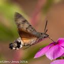 Hummingbird Hawk Moth