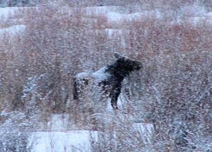 Photo: Closeup of Moose #1